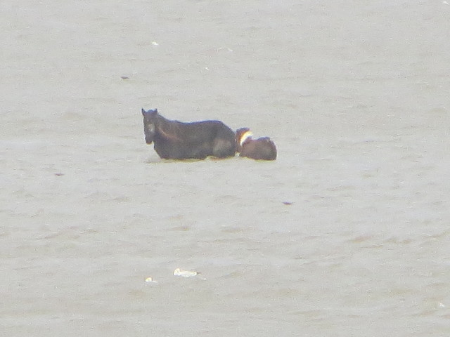 mare and foal left out in todays high tide on loughour estuary