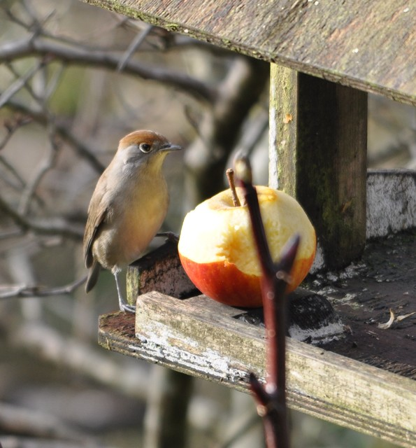 Mrs Blackcap arrives for the count.