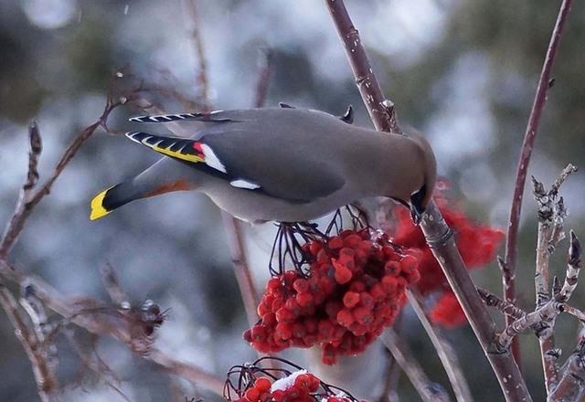 Waxwing eats frozen berries