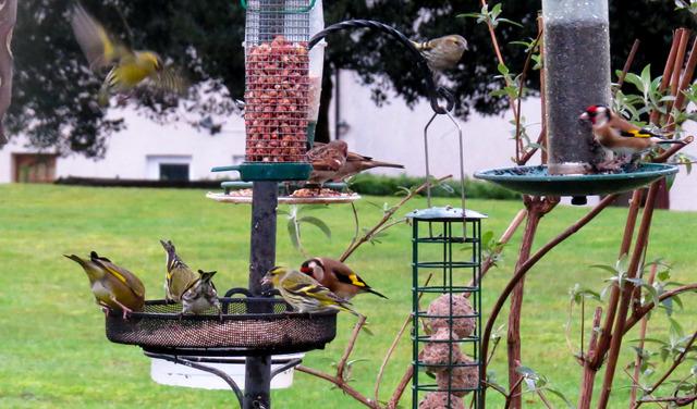Birds at garden feeder during Big Garden Birdwatch