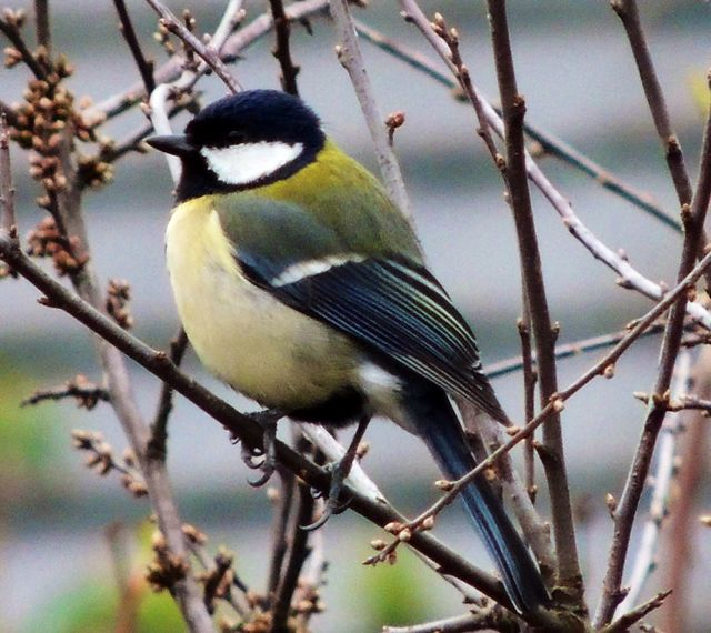 Great Tit - this plump chap is a regular visitor :)
