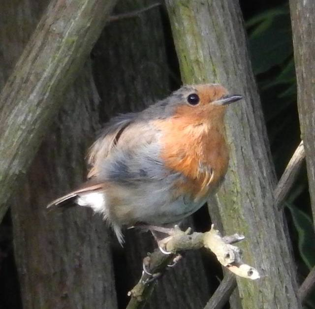 The Loveable Robin