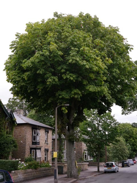 Chippinghouse Road Tree, Sheffield.