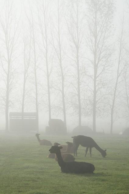 Alpacas In The Fog